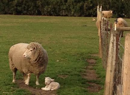 sheep-newlamb